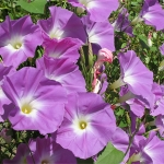 annuals-ipomoea