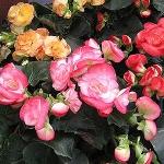 baskets-Begonias