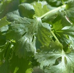 herbs-coriander
