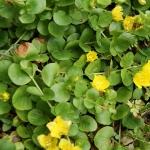 perennials-Lysimachia