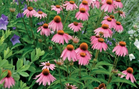 post-coneflower
