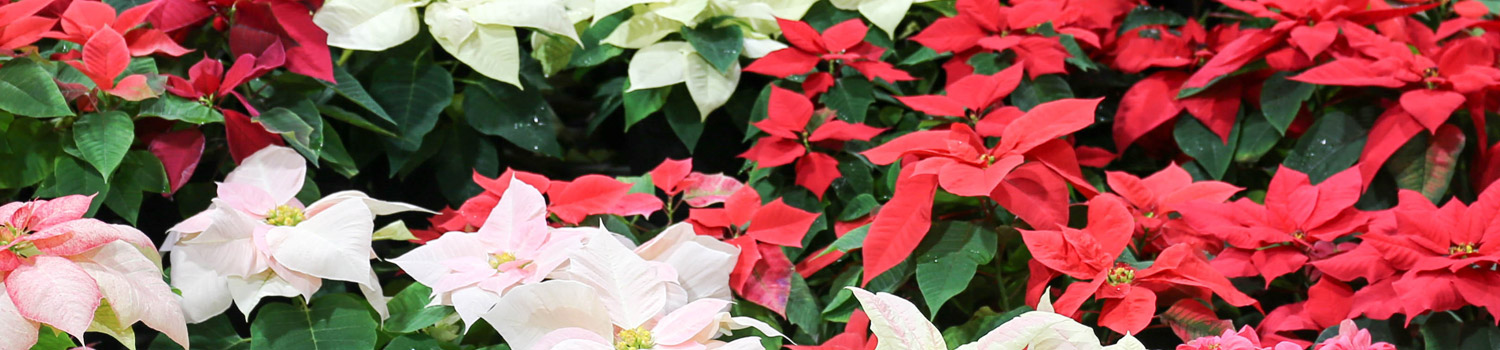 slider-poinsettia